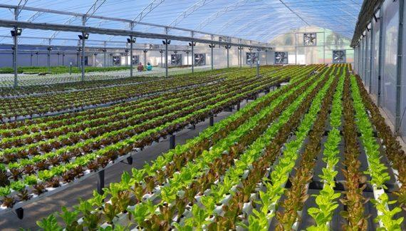 cultivo protegido de hidroponia