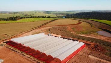 Produção suspensa de morango em estufa.