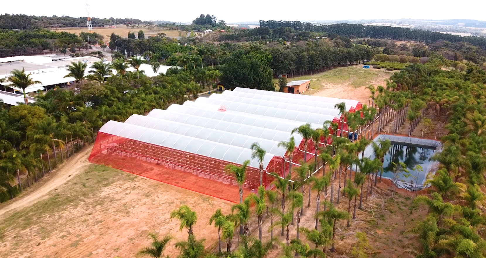 cultivo de morango