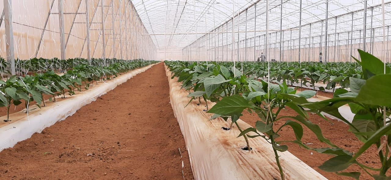 cultivo de pimentão