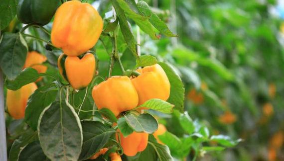 cultivo protegido de pimentão