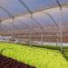 Maior produtividade no cultivo, plantio em estufas eleva em até 30% sua produtividade.