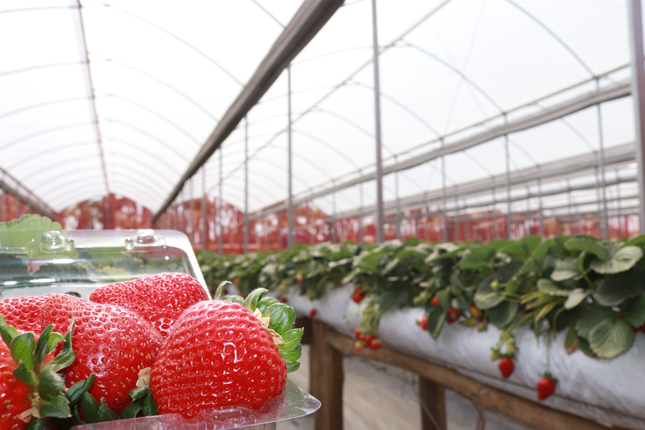 Invernadero para frutillas
