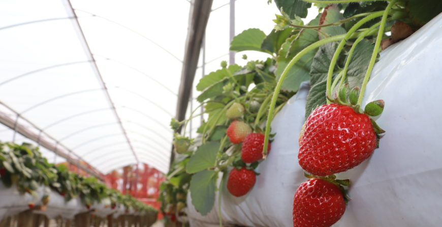 sistema certo de produzir morango