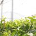 Tela Antiafídeo impede doenças no viveiro de mudas de Citrus